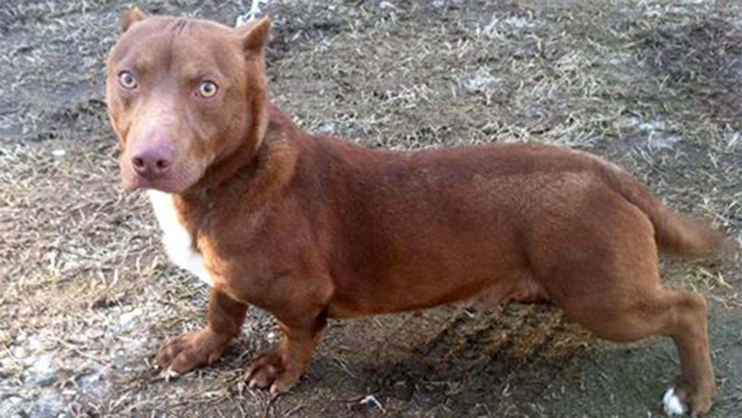 Pitbull Mixed With Bullmastiff