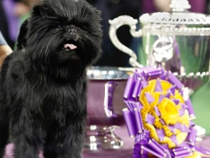 Image: Banana Joe, an Affenpinscher, stands beside its trophy after winning the 137th Westminster Kennel Club Dog Show in New York