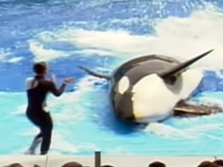 Whale that killed trainer back in SeaWorld show - Video on