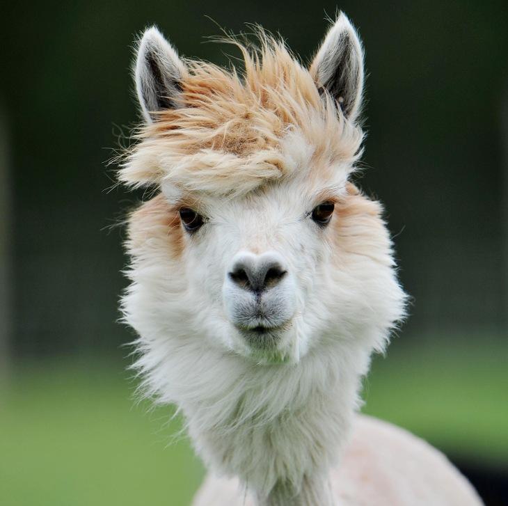 酷酷的草泥马发型