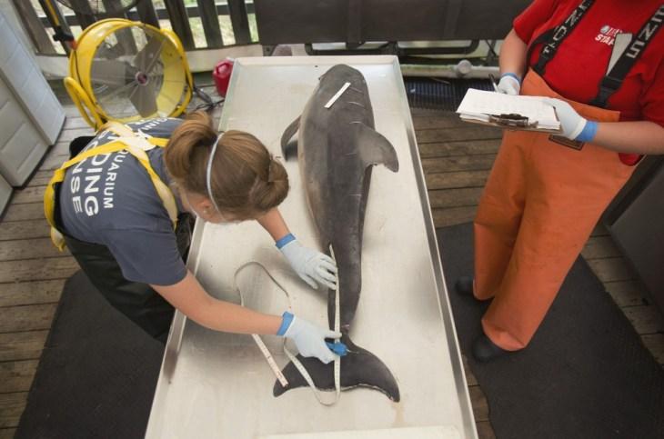 Sarah Rose, left, with the Virginia Aquarium Stranding Response Team begins a necropsy on a dead dolphin at the Virginia Aquarium Marine Animal Care C...