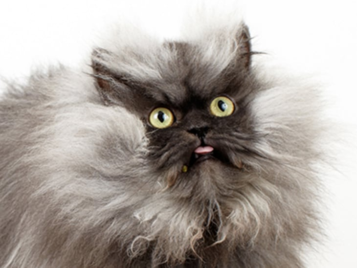 Me Wow Colonel Meow Sets Record For World S Longest Fur