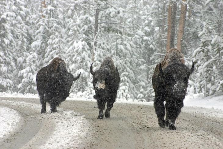 Yellowstone Buffaloes