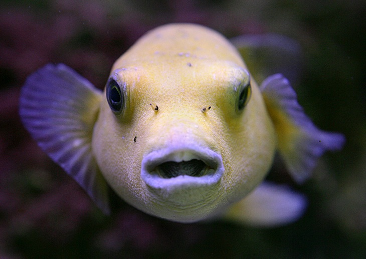 A golden puffer fish appears to pose in an exotic fish store aquarium in Tyler, Texas, Thursday, July 5, 2007.  (AP Photo/Dr. Scott M. Lieberman)