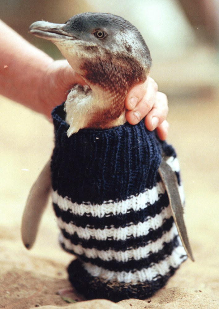 Little Penguins in knitted sweaters