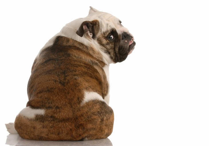 Bulldogs continue to surge in popularity among top dog breeds in America.