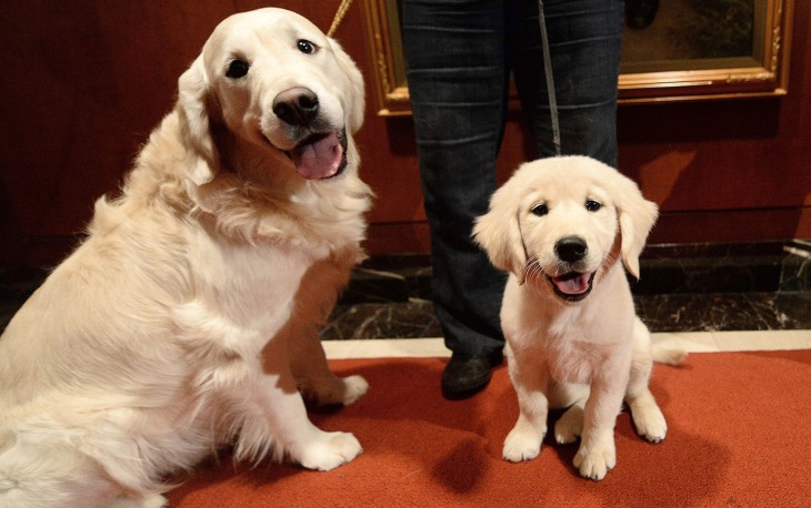 A puppy and adult Golden Retriever pose as the 2013 most popular dog breeds in the US are unveiled to the press at the American Kennel Club in New Yor...