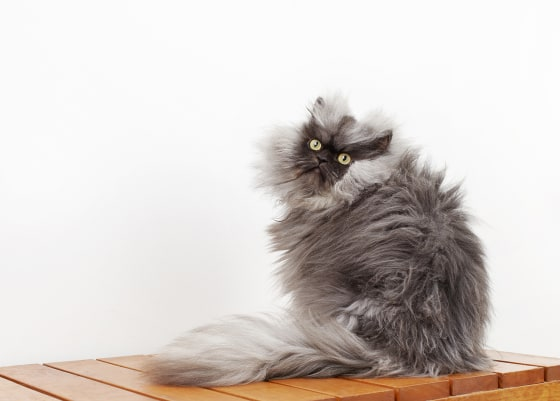 Colonel Meow Lands in Guinness Book of Records