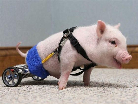 Chris P Bacon Pig on Wheels