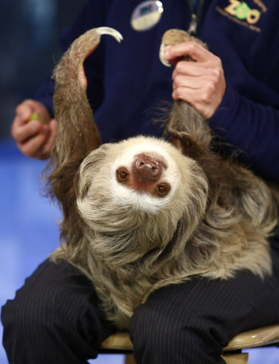 Sloth Smiling The sloth's favorite position