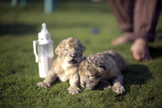 Two-day-old lion cubs Fajr and Sjel are seen at a zoo in the northern Gaza Strip town of Beit Lahia, on November 19, 2013 . The cubs' mother and fathe...