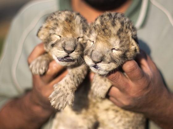 Sad news: Gaza Strip zoo's newborn lion cubs have died ...