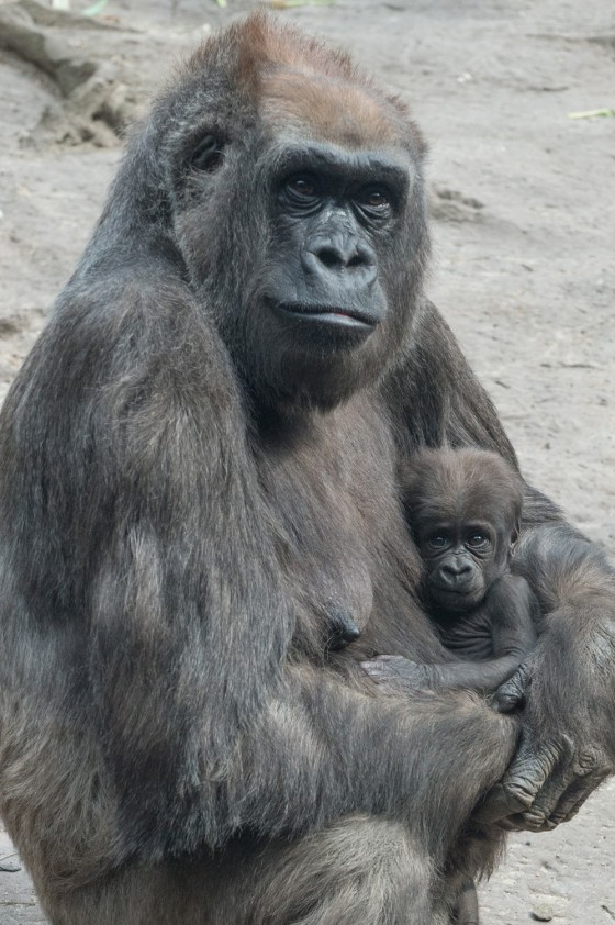 [Image: 1D274905695030-today-gorilla-140424-01.b...medium.jpg]