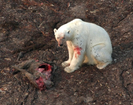 Polar bear eats a caribou