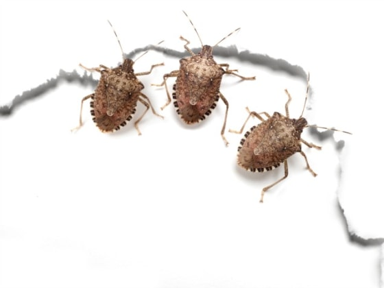 get rid of stink bugs with these easy tips home. Black Bedroom Furniture Sets. Home Design Ideas