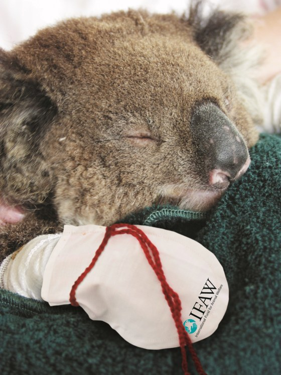 Campaign to knit mittens for injured koalas successful, adorable - TODAY.com