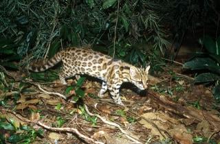 Projeto Gatos do Mato - Brasil / Project Wild Cats of Brazil