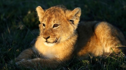 Image: A lion cub is seen in the Naboisho Conservancy adjacent to the Masai Mara National Reserve in Kenya