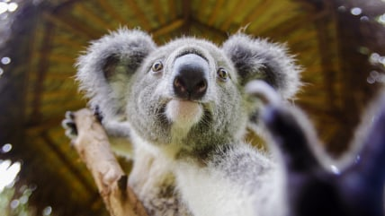 "Image: A koala climbs on a tree at the zoo of ""Chimelong Paradise"", in Guangzhou"