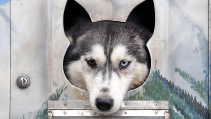 Image: A dog rests in a cage during a sled dog European Championship in Venek