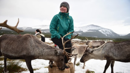 Image: *** BESTPIX *** Britain's Only Reindeer Herd Prepare For Christmas In The Cairngorms National Park