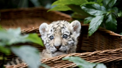 Image: Five week old Amur tiger cub 'Alisha' looks out of a basket at it is presented at Tierpark Friedrichsfelde zoo in Berlin