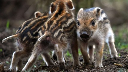 Image: GERMANY-ANIMALS-WILD BOAR-PIGLETS