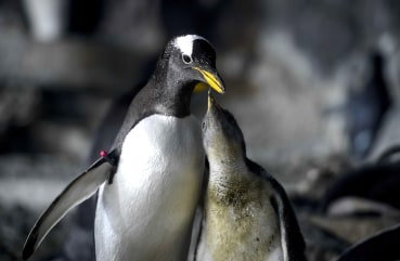 Image: SPAIN-ANIMALS-FAUNIA-PENGUIN