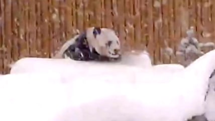 Panda Da Mao playing in the snow