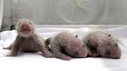 Newborn giant panda triplets, which were born to giant panda Juxiao (not pictured), are seen inside an incubator at the Chimelong Safari Park in Guang...