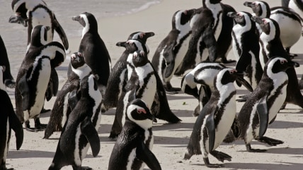 Penguins stand together at a national park in Simons Town, South Africa, Monday,  March 3, 2009. In scenes that captivate countless visitors every yea...