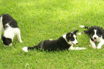Three border collies