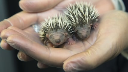 Two tiny orphaned hedgehogs sit delicately cradled in the cupped hands of a dedicated animal care assistant.