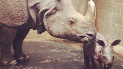 Baby rhino conceived through artificial insemination