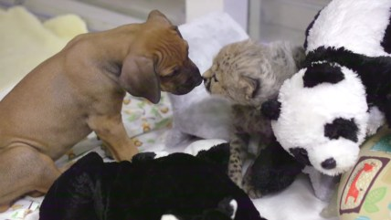 A cheetah and puppy become friends at the San Diego Zoo