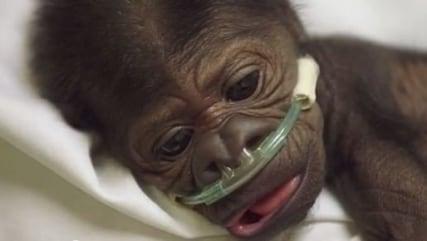 Baby gorilla battles pneumonia