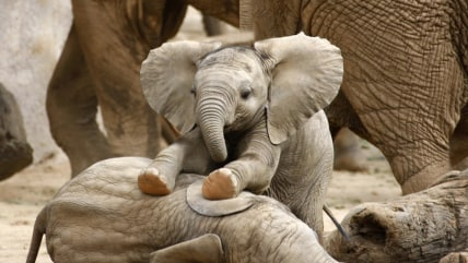 Baby Elephants Playing; Shutterstock ID 75308080; PO: today.com