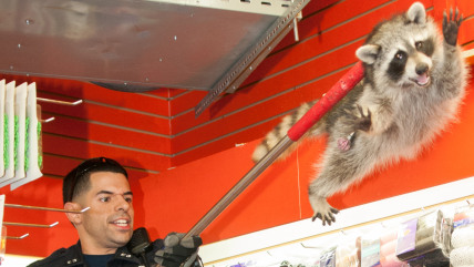 140920_,  Officer Diaz lifts racoon out of ceiling. Police capture Raccoon in Hair and Beauty Supply 4376 White Plains Rd., Bronx, NY, for Sunday, J.C...