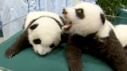 The rare panda triplets at a zoo in China are starting to show their personalities after celebrating two months since their birth.