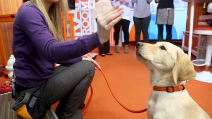 IMAGE: Wrangler practices his training skills in the Orange Room