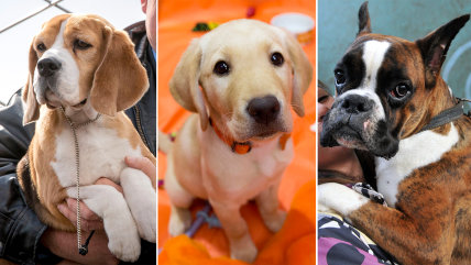 Some of the most popular dog breeds in the US, according to the American Kennel Club.