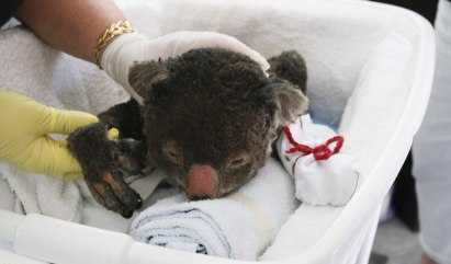The International Fund for Animal Welfare is asking volunteers to knit mittens for koalas injured in Australian bushfires.