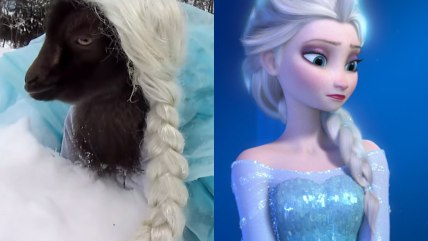 Goat dressed as Elsa