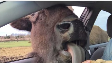 Buffalo kisses and gets up-close and personal at a drive-thru zoo