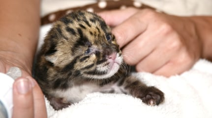 Image: Clouded leopard kitten