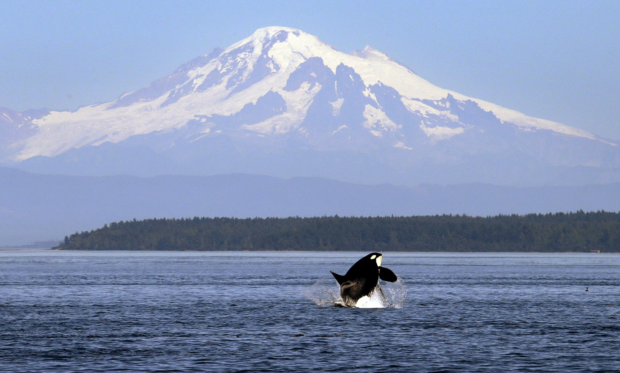 An orca breaches in view of Mount Baker, some 60 miles distant, in the Salish Sea in the San Juan Islands, Washington on July 31, 2015.