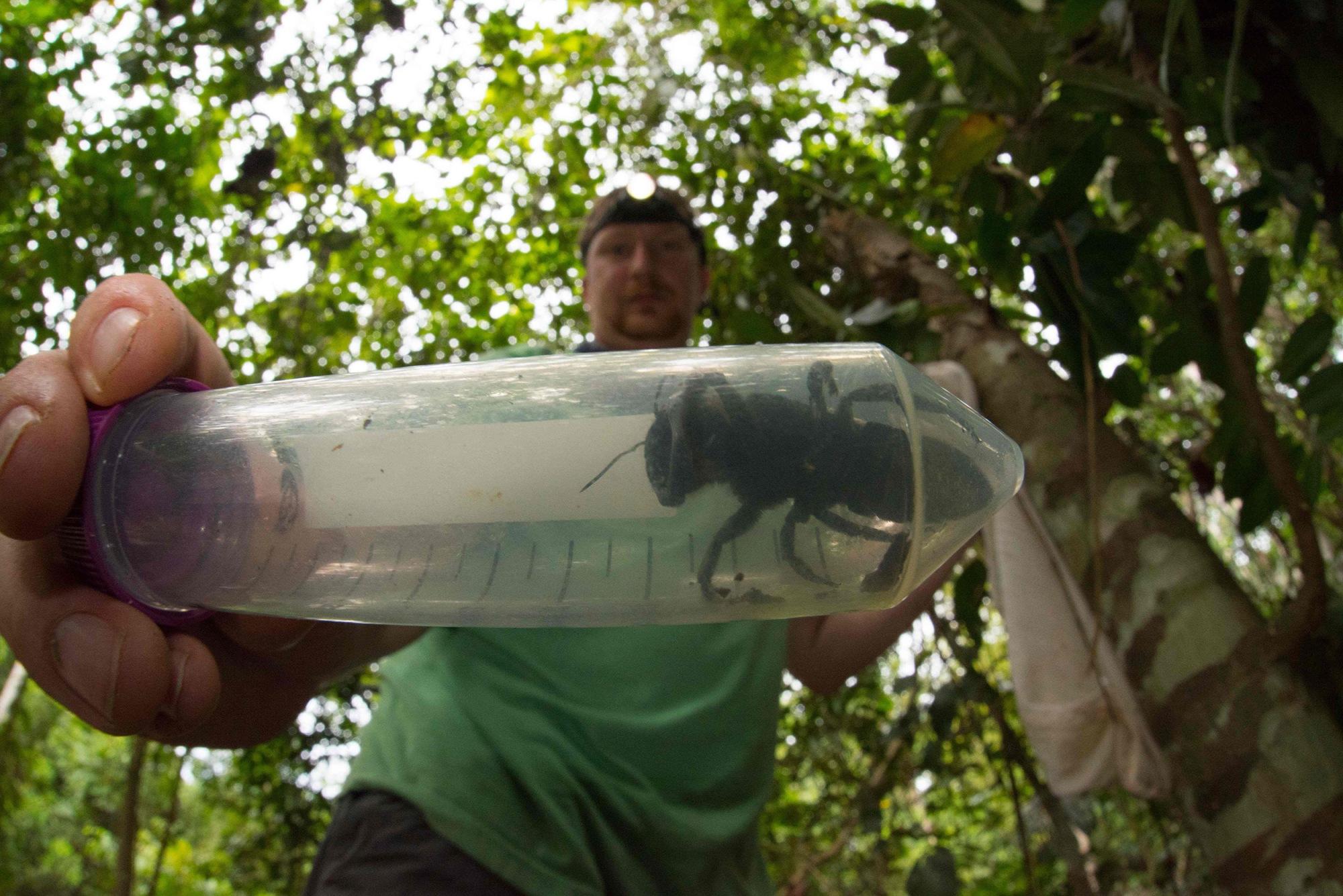 La plus grande abeille du monde trouvée