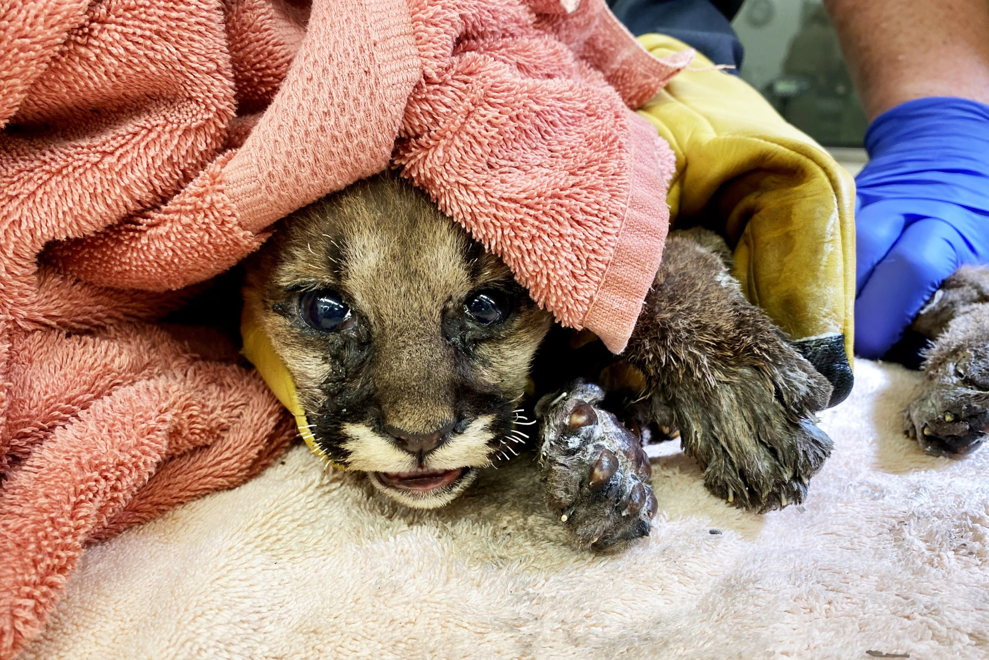 A mountain lion cub rescued from from the Zogg Fire in Redding, Calif., receives treatment at the Oakland Zoo on Sept. 30, 2020.Oakland Zoo