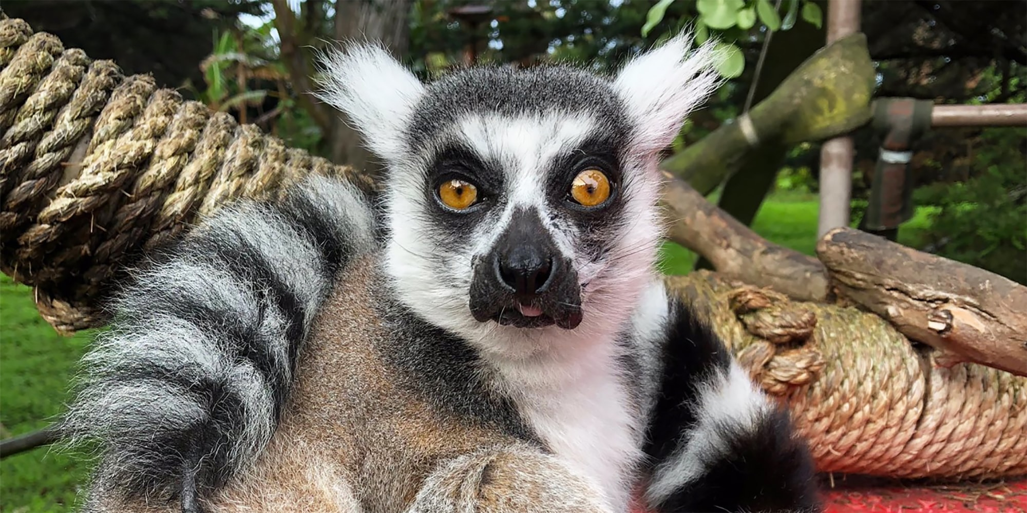 21-year-old male ring-tailed lemur, Maki, was discovered missing from the San Francisco Zoo's Lipman Family Lemur Forest, on Oct. 14, 2020.San Francisco Zoo