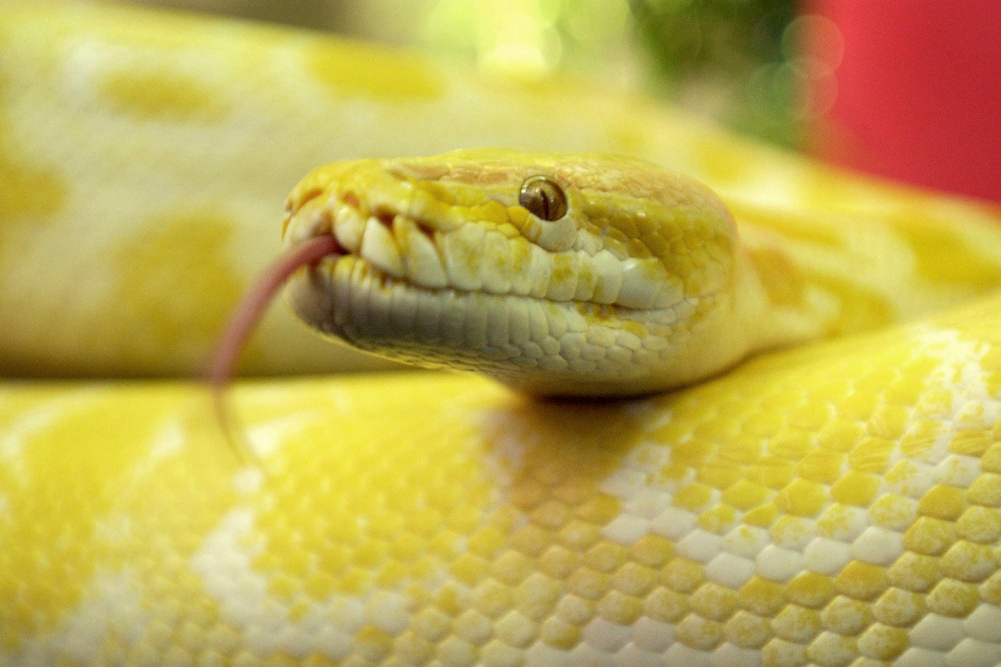 12-Foot Python Escapes Enclosure at Louisiana Aquarium